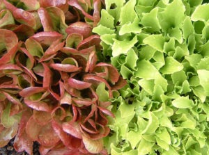 Growing Historical Lettuce Varieties