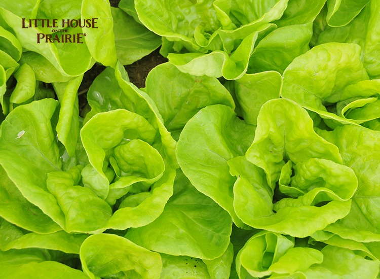 Historical Lettuce Varieties