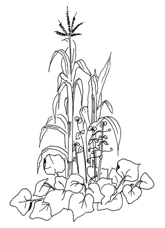 Three Sisters Garden Drawing Three Sisters in The Garden