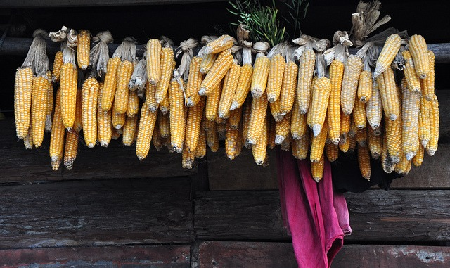How to dry heirloom corn the old-fashioned way.