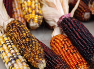 Growing Heirloom Corn Varieties Featured