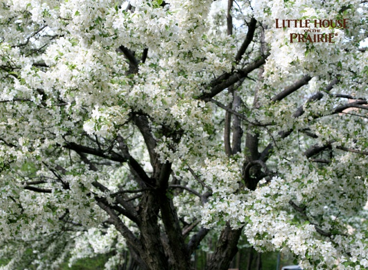Apple blooms on a mature tree will delight you in the spring!