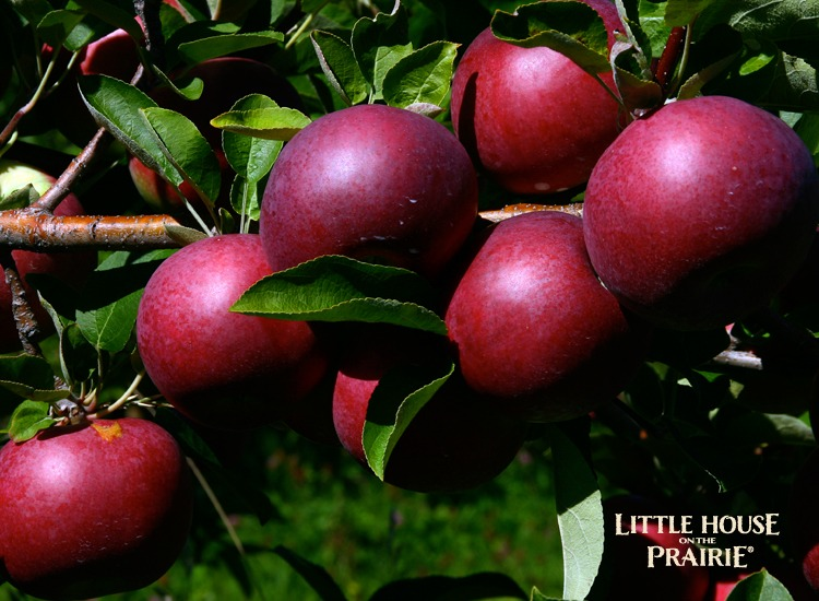 Apple trees produce bushels of fruit even in a home garden space.