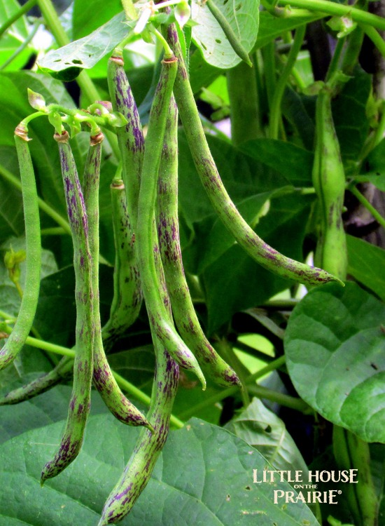 Heirloom plants like these rattlesnake beans can provide extra interest to the garden spaces around your home.