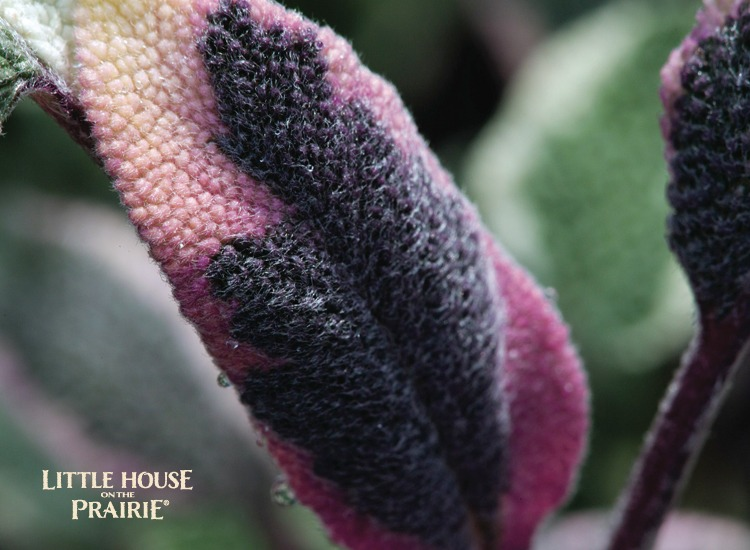 Tri-color sage lends gorgeous accents of color to the herb garden.