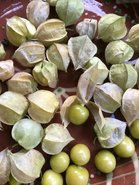 Ground Cherries like the ones Laura Ingalls Wilder grew