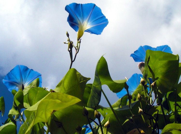 Morning Glories were mentioned in more than one of the books Laura Ingalls Wilder wrote.