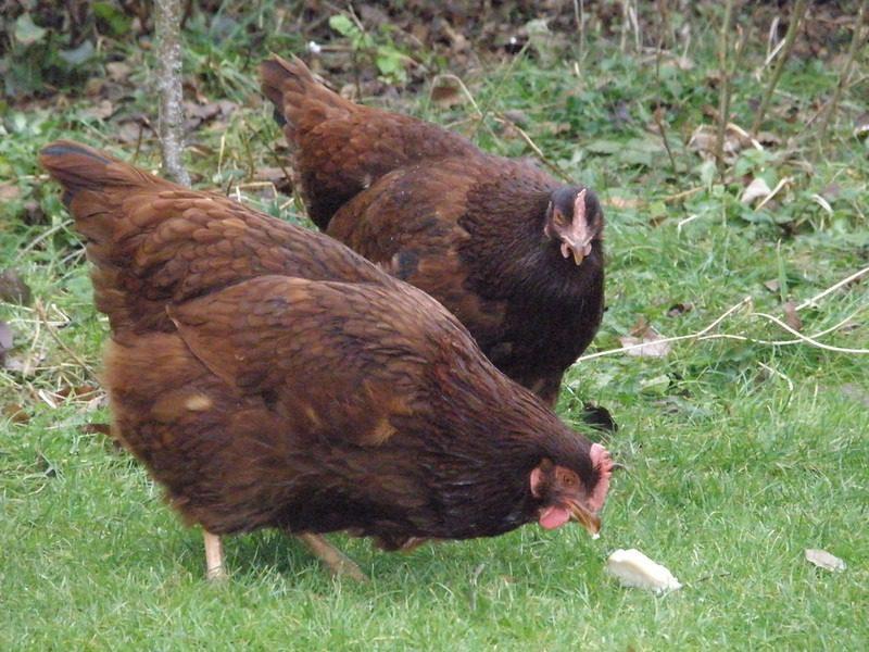 Keeping Backyard Chickens for Fresh Eggs Rhode Island Red