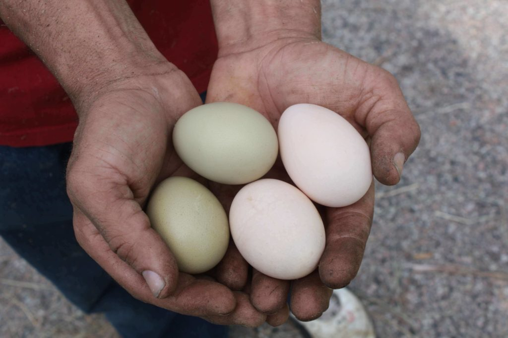 Keeping Backyard Chickens for Fresh Eggs in Multicolors
