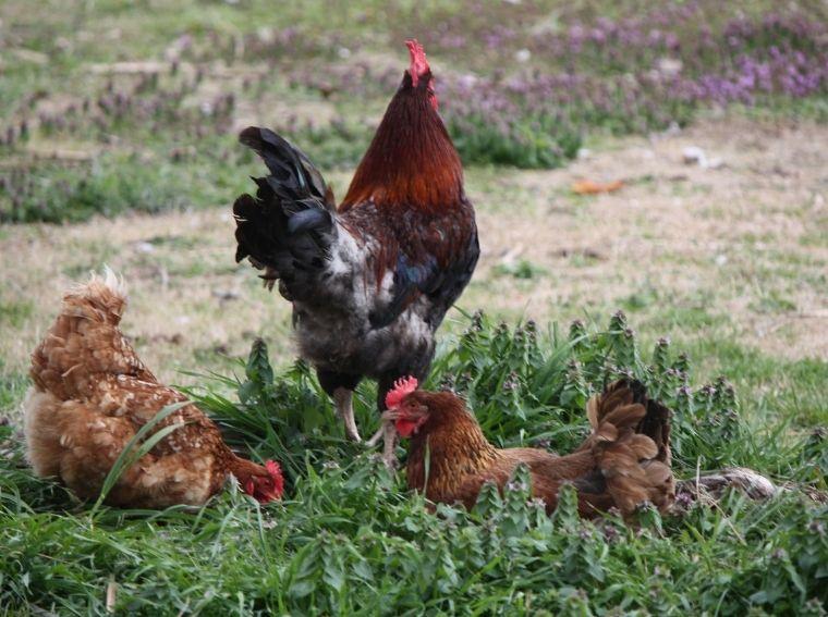 Keeping Backyard Chickens for Fresh Eggs